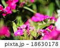 ササキリモドキ 18630178