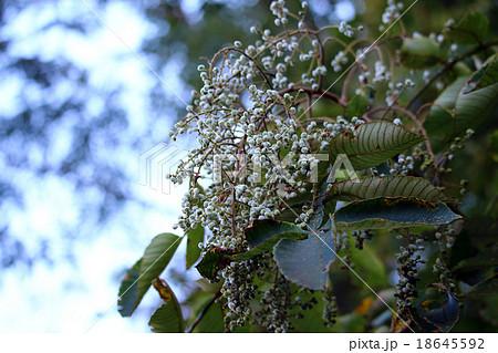 ヌルデ フシノキ、カチノキ、カツノキ、ヌルデシロアブラムシ、虫こぶ、ヌルデシロアブラムシ 18645592