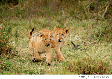 Young lion cub running in the wild,Kenya