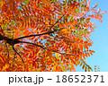 ハゼノキ 紅葉 葉の写真 18652371