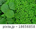冬の緑 18656858
