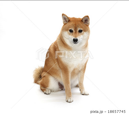 柴犬 18657745