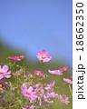 ピンク色のコスモス 18662350