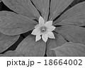 キヌガサソウ(衣笠草) 18664002
