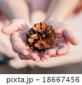 茶色 針葉樹 まつぼっくりの写真 18667456