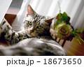 アメリカン・ショートヘア American Shorthair 18673650