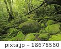 6月初夏 屋久島の苔むす森ー白谷雲水峡の原生林 18678560