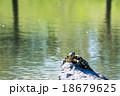 日向ぼっこしている亀 18679625
