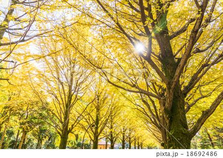 【東京都】光が丘公園のイチョウ並木 18692486