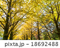 【東京都】光が丘公園のイチョウ並木 18692488