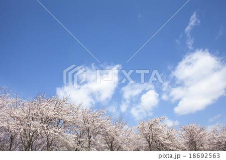 桜 18692563