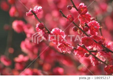 黒龍梅 (梅)。 Japanese apricot 18695217