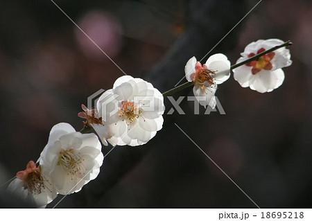 思いのまま (梅)。 Japanese apricot 18695218