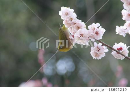 梅にメジロ (豊後)。 Japanese apricot 18695219
