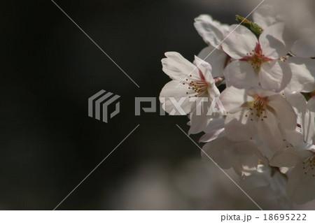 さくら : ソメイヨシノ。 Cherry blossoms 18695222