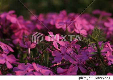 ダニエルクッション (芝桜) 01。 Moss phlox 18695223