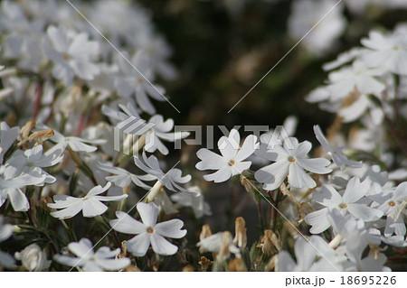 モンブラン : ハナシノブ科。 Moss phlox 18695226