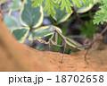 昆虫 カマキリ オオカマキリの写真 18702658