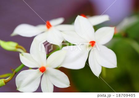 エランギス・ルテオアルバ・ロードスティクタの花 18709405