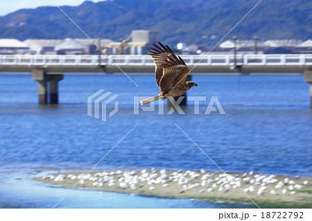 竹島(蒲郡市)を飛ぶトビ 18722792