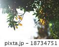 太陽の光 木の枝 18734751