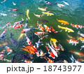 勝尾寺弁天池の錦鯉 18743977