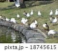 稲毛海浜公園に飛来したオナガガモとユリカモメ 18745615
