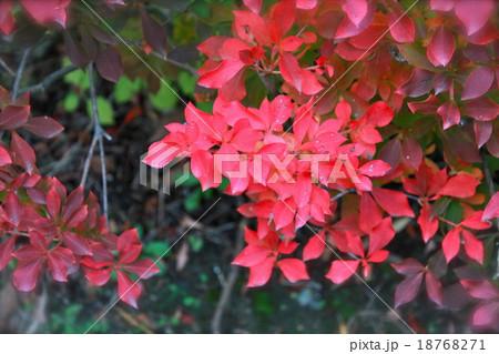 紅葉するドウダンツツジ 18768271