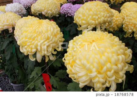 菊まつりの立派な菊 18768578