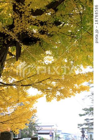 街を見守る銀杏の木 18768586