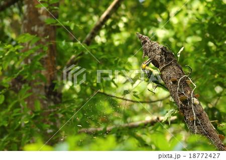 Gold-whiskered Barbet