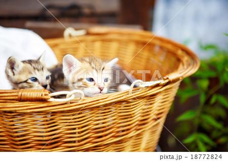 Three little kittens in a basket.の写真素材 [18772824] - PIXTA
