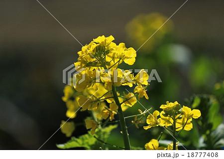 菜の花 18777408