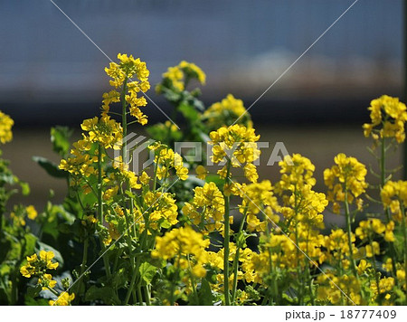 菜の花 18777409