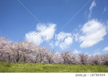 桜 18780404