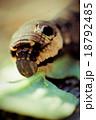 キアゲハ 害虫 ペストの写真 18792485
