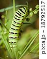 芋虫 キアゲハ 害虫の写真 18792517