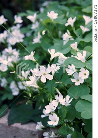 シロバナイモカタバミ (白花芋片喰)(カタバミ科カタバミ属) 18807371