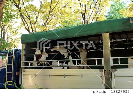 トラックで運ばれる牛 18827935