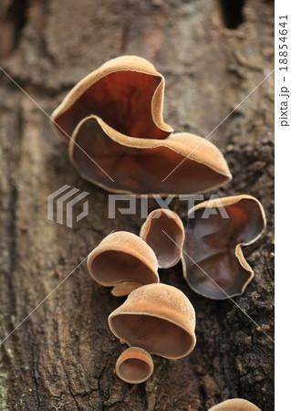 自然 キノコ キクラゲ、ニワトコを好むと言われますがエゴノキの朽ち木で見つけました 18854641
