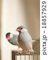 文鳥のカップル 18857929