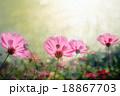 Cosmos flowers 18867703