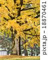 銀杏 大木 葉の写真 18870461