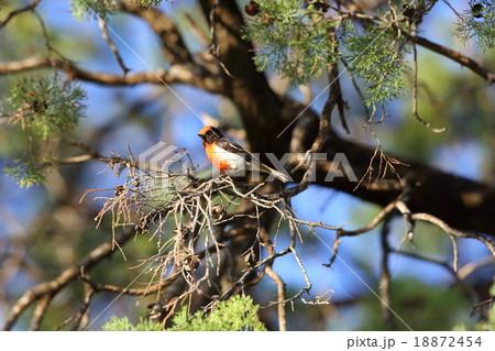 オーストラリアの野鳥・アカビタ...