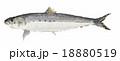 魚 魚類 海水魚のイラスト 18880519