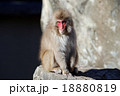 猿 干支 動物の写真 18880819