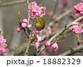 目白 小鳥 花の写真 18882329