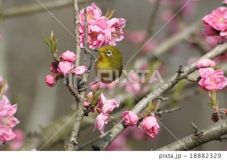 桃の花 (矢口) と メジロ その1 18882329