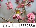目白 小鳥 花の写真 18882330
