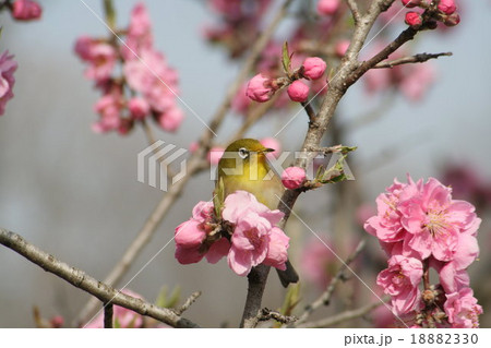 桃の花 (矢口) と メジロ その2 18882330